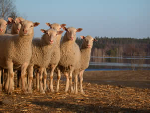 The wool quality traits are inherited rather well, except for the lustre and uniformity of the woo