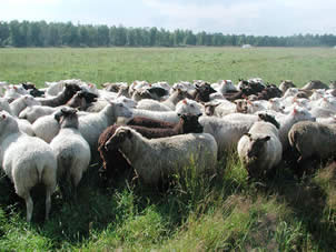 Finnsheep's wool quality evaluation and breeding objectives are joint Nordic